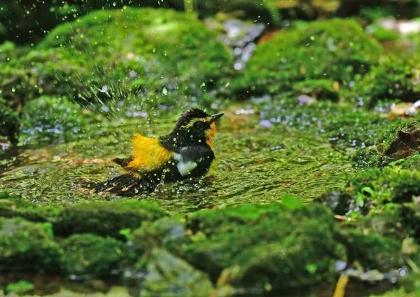 キビタキ水浴び3 DSD_3645