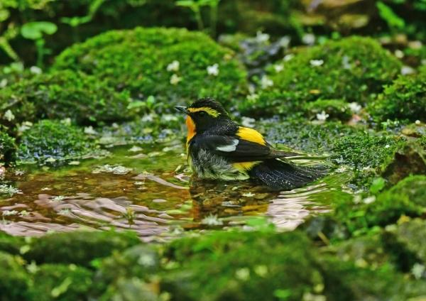 キビタキ水浴び4 DSD_4598