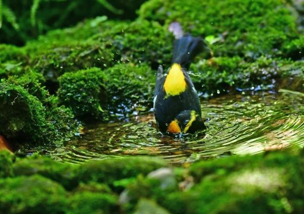 キビタキ水浴び5 DSD_9628