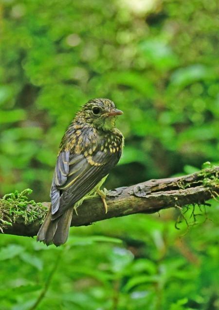 キビタキ幼鳥1 DSF_5211