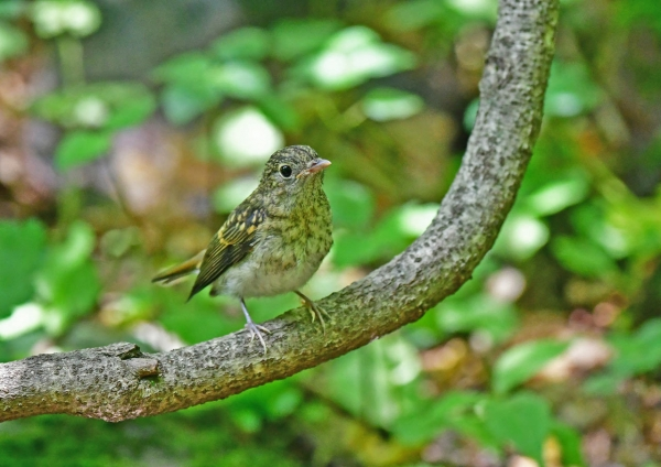 キビタキ幼鳥2 DSF_5027