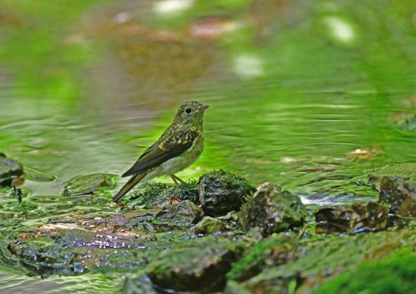 キビタキ幼鳥3 DSF_5089