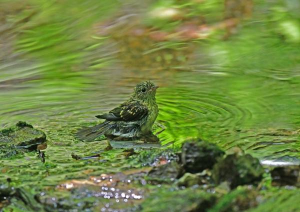 キビタキ幼鳥4水浴び DSF_5172