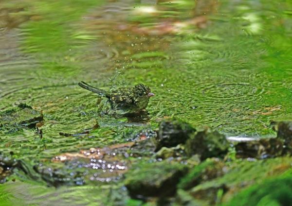 キビタキ幼鳥5水浴び DSF_5182