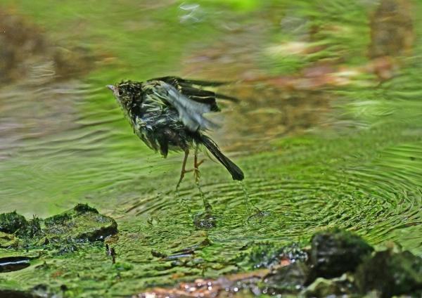 キビタキ幼鳥6水浴び DSF_5206