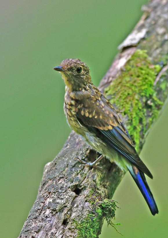 オオルリ幼鳥 DSG_4128