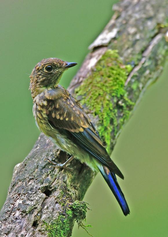 オオルリ幼鳥 DSG_4132