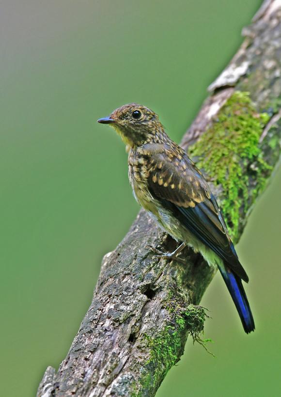 オオルリ幼鳥 DSG_4144