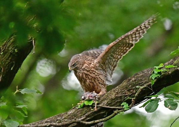 オオタカ幼鳥3 DSF_9785