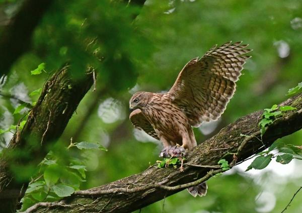 オオタカ幼鳥4 DSF_9788
