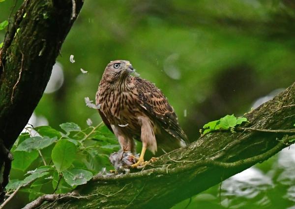 オオタカ幼鳥5 DSF_9944