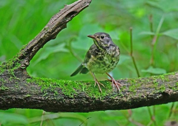 クロツグミ幼鳥3 DSG_4081