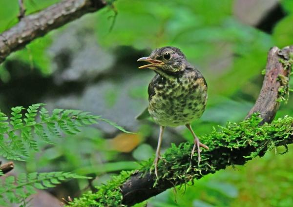 クロツグミ幼鳥5 DSG_4161