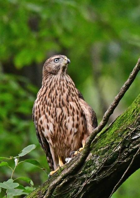 オオタカ幼鳥1 DSF_9814