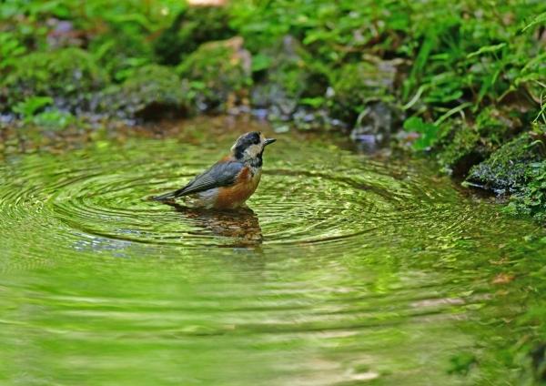 ヤマガラ1水浴び DSG_8960