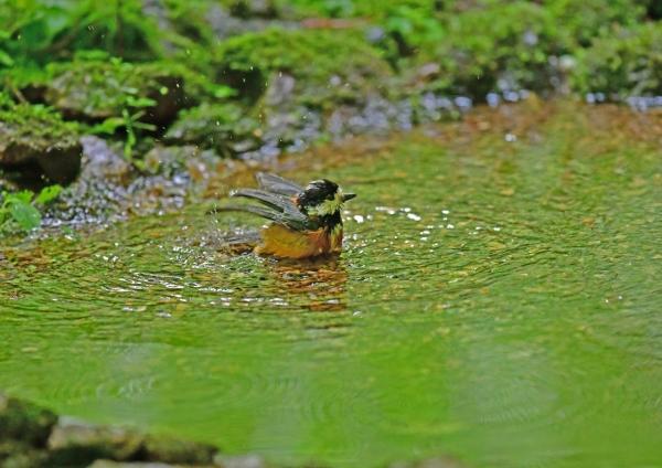 ヤマガラ3水浴び DSG_3498