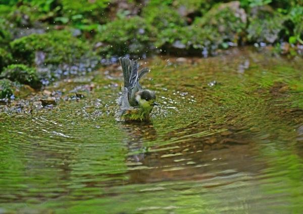 ヤマガラ4幼鳥水浴び DSF_7162