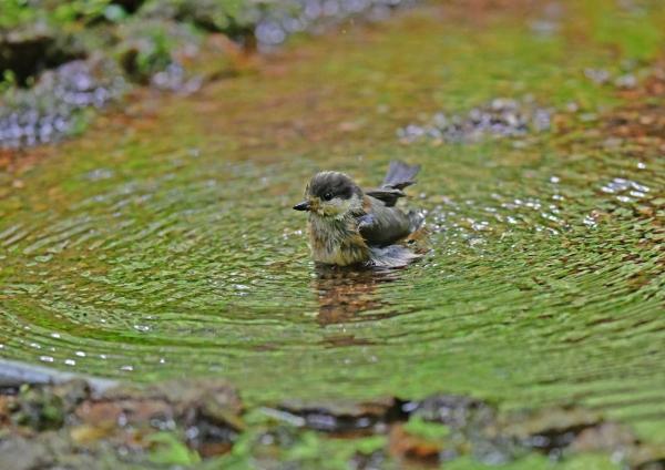 ヤマガラ5幼鳥水浴び DSF_6884