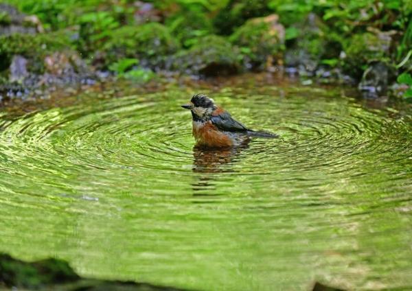 ヤマガラ水浴び DSG_8978