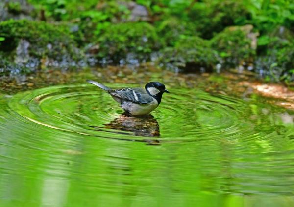 シジュウカラ水浴び1 DSG_7229