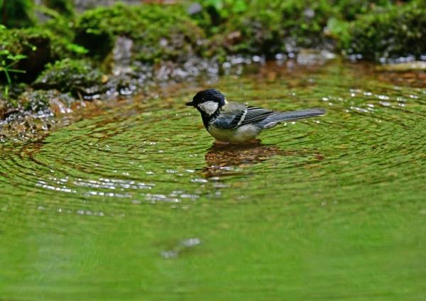 シジュウカラ水浴び2 DSG_2869