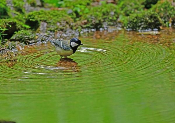 シジュウカラ水浴び3 DSG_2860