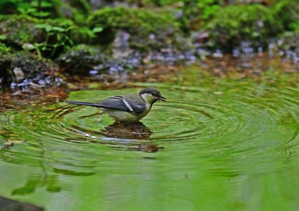 シジュウカラ幼鳥水浴び4 DSG_7606