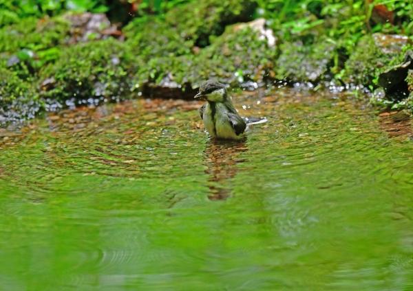 シジュカラ幼鳥水浴び5 DSG_2377