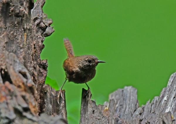ミソサザイ幼鳥2 DSG_1791