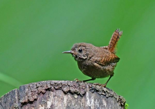 ミソサザイ幼鳥3 DSG_1864