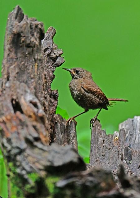 ミソサザイ幼鳥1 DSG_1782