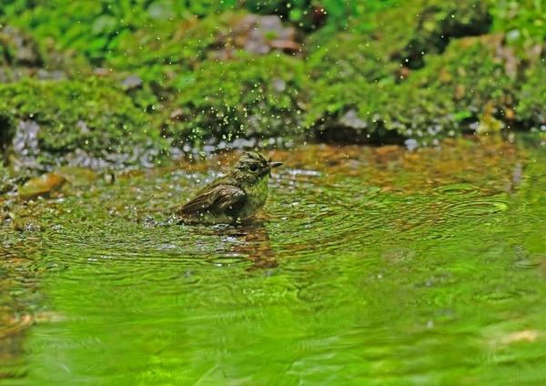 キビタキ雌水浴び4 DSG_0145