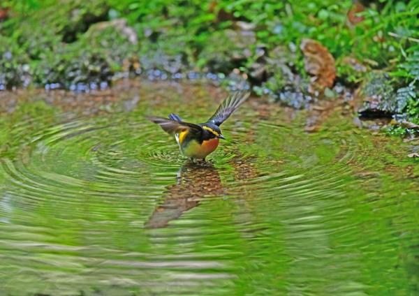 キビタキ水浴び1 DSG_3806