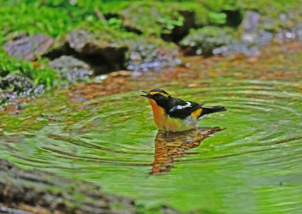 キビタキ水浴び2 DSG_6277