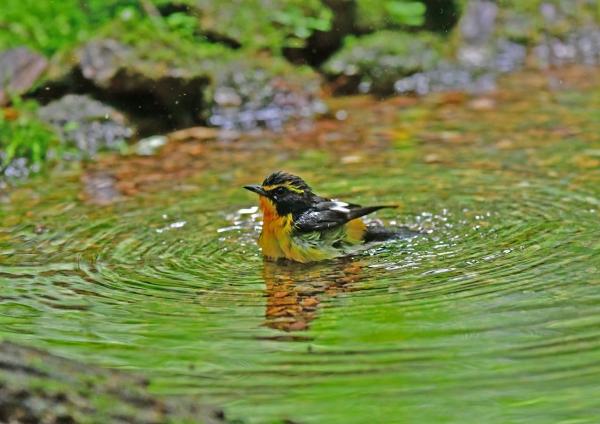 キビタキ水浴び3 DSG_6348