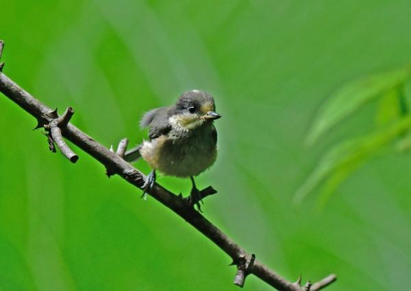 ヤマガラ幼3鳥 DSG_0210