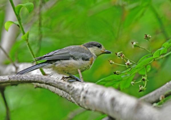 ヤマガラ幼鳥1 DSF_6154