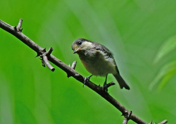 ヤマガラ幼鳥4 DSG_0230