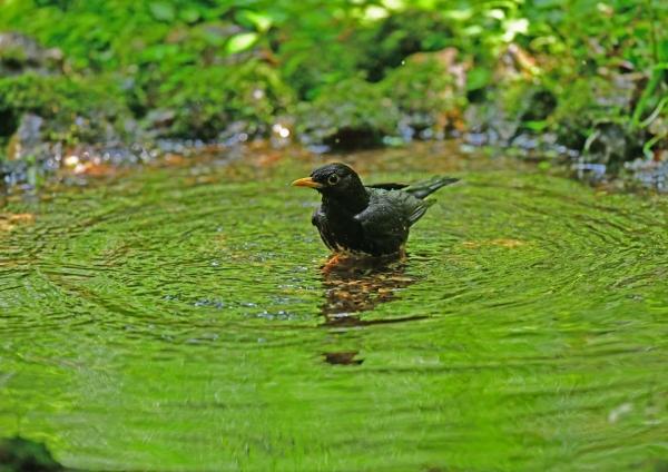 クロツグミ水浴び1 DSG_7955