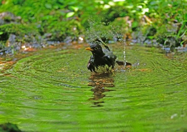 クロツグミ水浴び2 DSG_7969