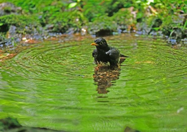 クロツグミ水浴び3 DSG_7978