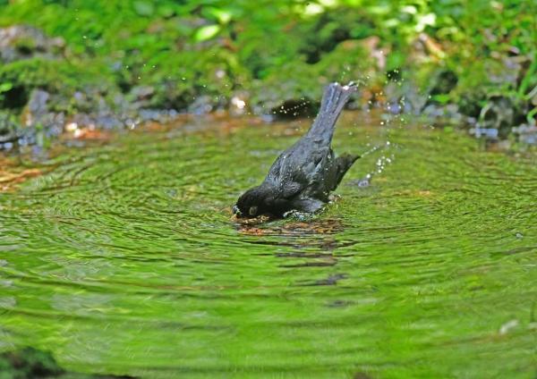 クロツグミ水浴び4 DSG_7992