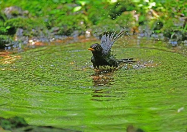 クロツグミ水浴び5 DSG_7995