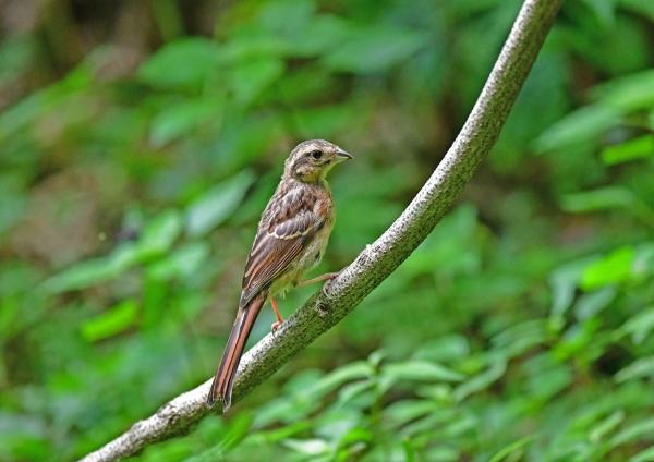 ホオジロ4幼鳥 DSG_9437