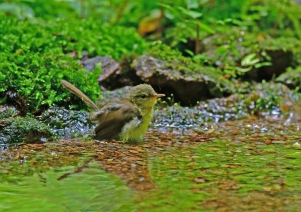 ウグイス幼鳥1 DSF_7893