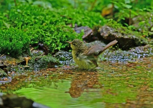 ウグイス幼鳥2 DSF_7894