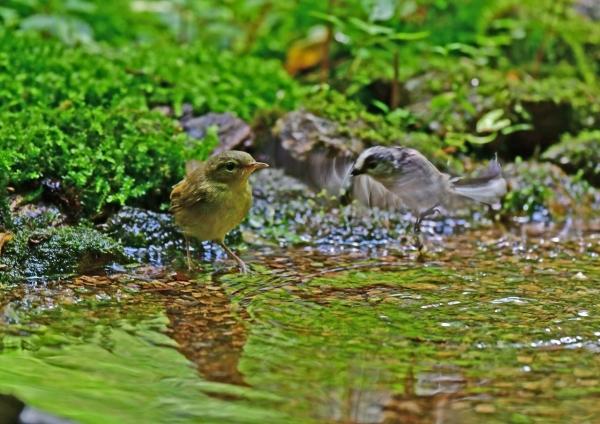 ウグイス幼鳥3 DSF_7856