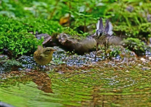 ウグイス幼鳥4 DSF_7855