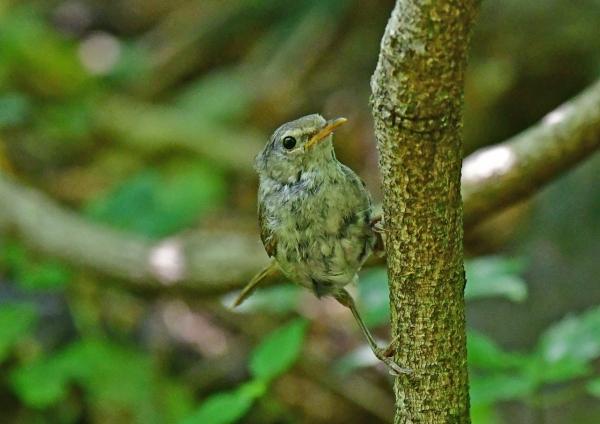 センダイムシクイ幼鳥3 DSG_6747