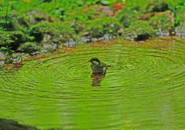 ヒガラ水浴び2 _